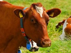 IoT cows across the world are texting farmers their health updates