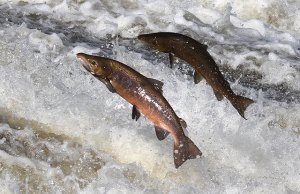 Norwegian salmon farmers Cermaq building smart factory in Arctic Circle