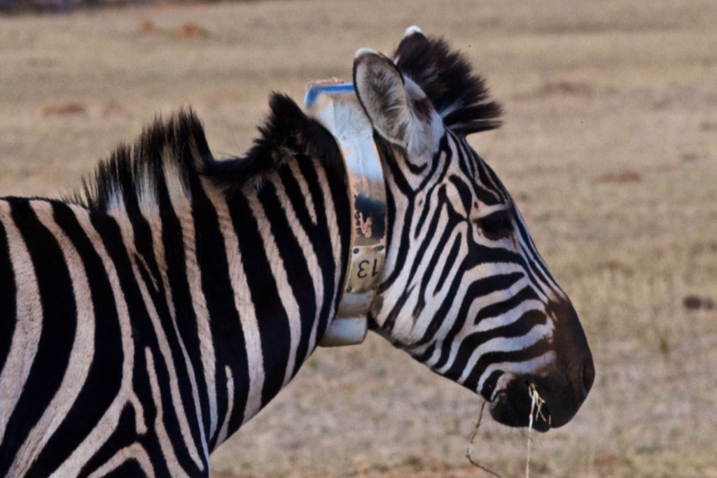 zebra in the animal IoT, by IBM