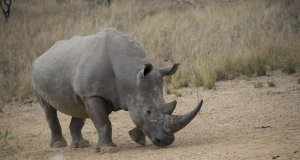 IBM endangered rhinos, keeping them safe from poachers with the IoT