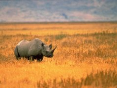 Park rangers use IoT in mission to save endangered black rhinos