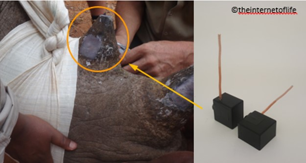 Rhino Sensor implanted in animal's horn