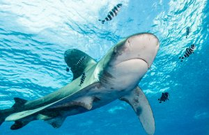 Marine biologists use connected sensors to monitor shark behaviour