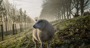 sheep wearables iot agriculture farming