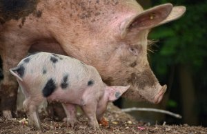 alibaba brings ai platform to pig farming in china