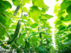 cucumber growing contest, using AI with intel, microsoft and tencent